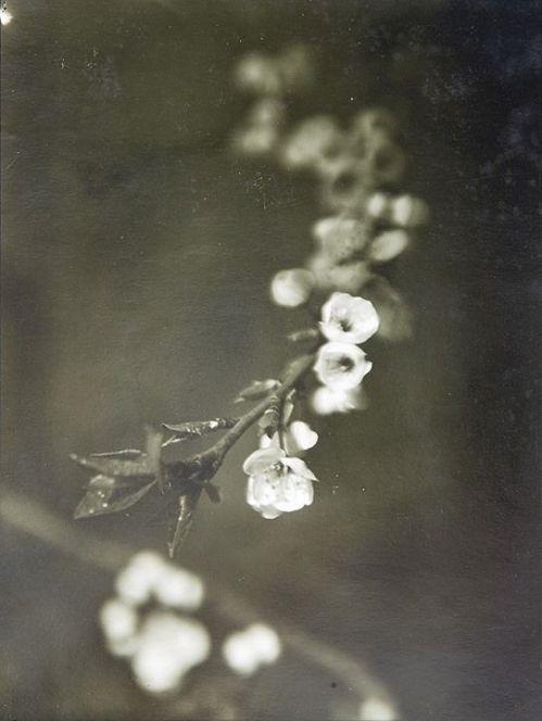 Blossom Josef Sudek