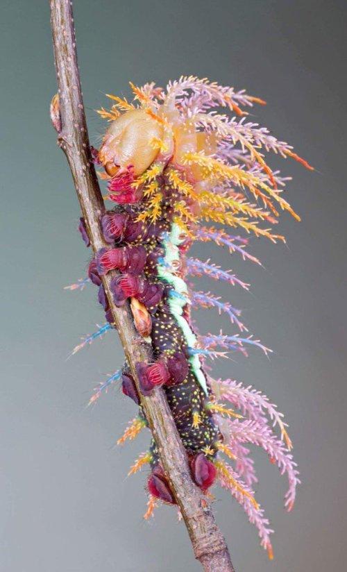 nachpauwoog_saturniidae-moth-caterpillar