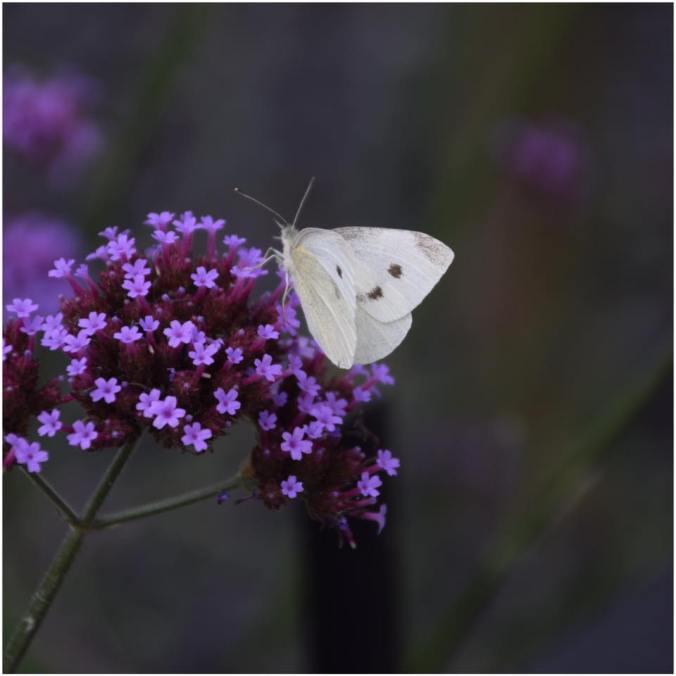 vlinder_paulabspoel