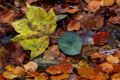 herfstbladen_renatevandenboom